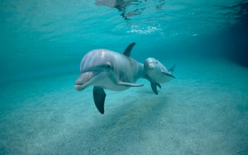 DolphinSwimming2