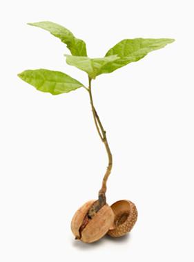 acorn-to-tree-e1397484516415