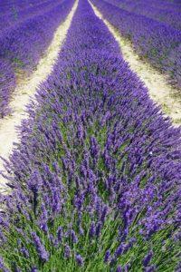 photo-36-lavender-field-1595575_960_720